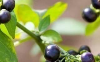 Выращивание санберри из семян + фото и видео