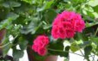 Герань садовая: виды с фото, правила выращивания и ухода, способы размножения