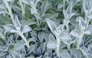Чистец или стахис: выращивание, уход, размножение