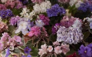 Самые красивые сорта фиалок: фото и названия