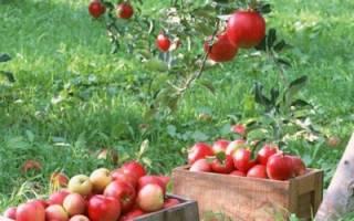 Проблемы с плодами: почему яблоки опадают раньше времени, трескаются — о каких болезнях это говорит и что с этим делать
