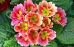 Примула из семян в домашних условиях — советы по выращиванию и уходу за растением, популярные сорта цветка