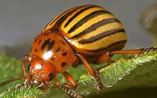Как избавиться от колорадского жука: с помощью черёмухи, как правильно использовать инсектицидами