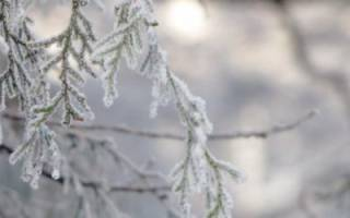 Как укрыть тую на зиму правильно
