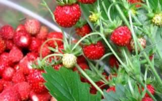 Выращивание земляники из семян, подготовка рассады, высадка в открытый грунт, правильный уход, обработка