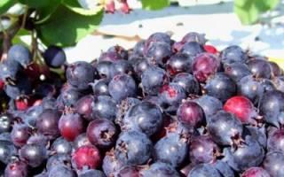 Выращивание ирги: как ухаживать, когда собирать ягоды, как подготовить к зиме