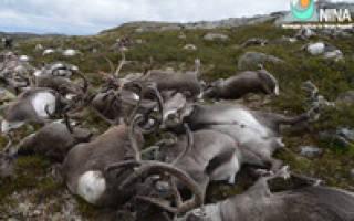 В Норвегии погибло большое количество оленей