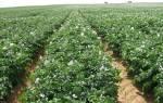 Выращивание картофеля из ростков: подготовка почвы, посадка и подкормка, правильный уход