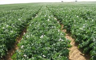 Выращивание картофеля в контейнерах: подготовка почвы, посадка, правильный уход