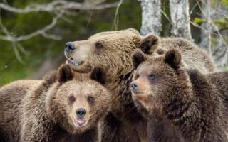 Повзрослевшие бурые медвежата питаются молоком своей матери