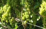 Как выращивать виноград в холодном климате, правильный уход, подготовка к зиме, выращивание на Урале
