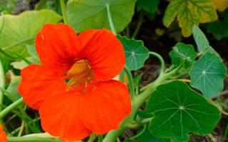 Настурция — выращивание из семян: когда сажать и каким способом, популярные сорта цветка