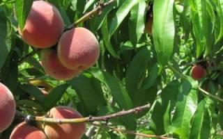 Посадка персика осенью: когда и как правильно сажать + фото и видео
