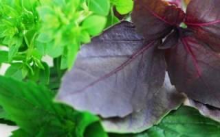 Базилик: посадка и уход в открытом грунте, выращивание (в тч из семян) и пр + видео