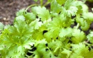 Кинза: что это такое, как она растёт, особенности выращивания из семян, уход, фото
