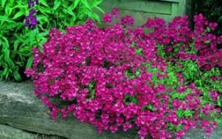 Диасция в саду как долго и красиво цветущий однолетник: описание разновидностей, правила посадки, ухода и размножения, использование в декоративных насаждениях