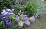Флокс Друммонда — выращивание из семян: когда сажать и каким способом, популярные сорта растения