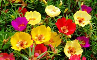 Портулак: выращивание из семян, пересадка рассады, уход, фото