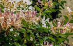 Лианы для сада: декоративные многолетние и однолетние или плодоносящие