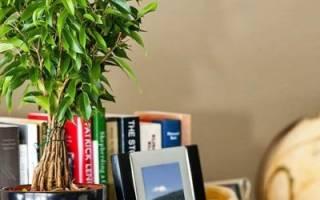 У фикуса желтеют и опадают листья: что делать, чтобы помочь растению