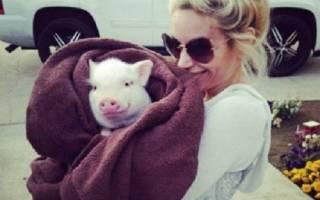 Минипиг вырос и оказался обычной свиньёй
