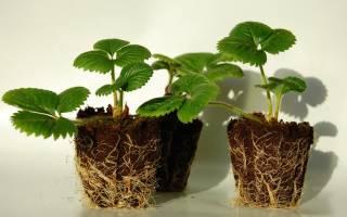 Как вырастить землянику из семян…