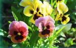 Когда сажать виолу при выращивании из семян, способы посева на рассаду и в открытый грунт, популярные сорта
