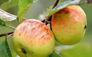 Описание сорта яблони Коричное полосатое — особенности, правила посадки и ухода, сбор урожая + фото
