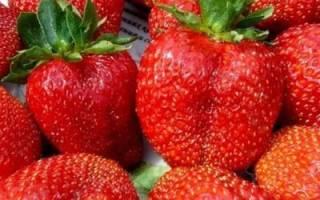 Выращивание садовой земляники: посадка и правильный уход, сорт Елизавета