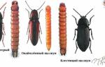 Как избавиться от проволочника, при помощи доломитовой муки и инсектицида