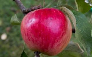 Описание и фото сорта яблок Веньяминовское + видео