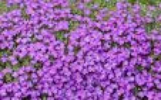 Обриета: сорта и особенности выращивания почвопокровника