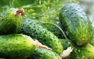 Как вырастить большой урожай огурцов, правильный уход, способы и советы