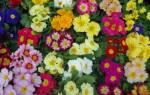 Примула садовая многолетняя: размножение растения и уход за ним