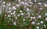 Гипсофила в саду: рекомендации по выращиванию и размножению и уходу
