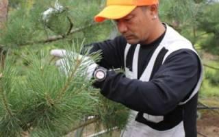 Как правильно обрезать хвойные растения