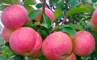 Как ухаживать за всеми сортами яблок Налив (белый, золотой или розовый и другие), фото и описание яблонь