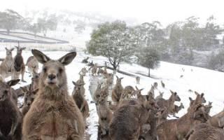 В Австралии кенгуру знакомятся со снегом