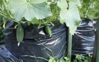 Как выращивать огурцы в пакетах, посадка, полив, уход