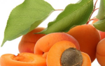 Выращивание маньчжурских абрикосов: посадка, правильный уход