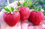 Садовая земляника Дарселект — описание сорта, нюансы ухода и прочие важные аспекты + фото