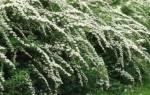 Выбор растений для живой изгороди: быстрорастущие кустарники или деревья