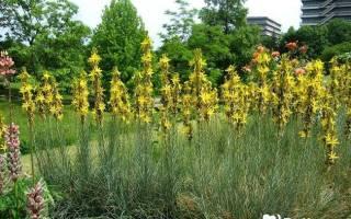 Асфоделина: условия выращивания, особенности ухода и размножения