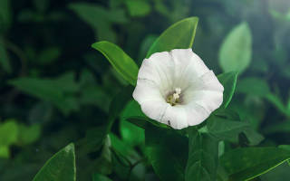 Калистегия: особенности выращивания цветущей лианы и ухода за ней