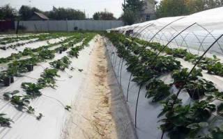 Выращивание земляники, правильный уход в период засухи