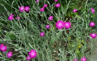 Лихнис: декоративные виды, особенности выращивания и размножения