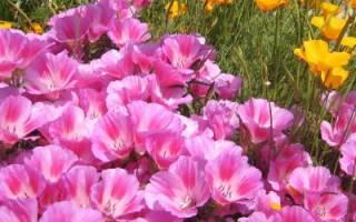 Кларкия — выращивание из семян в домашних условиях: когда сажать и каким способом, популярные сорта