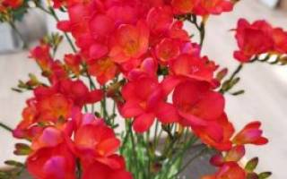 Фрезия: выращивание из клубнелуковиц, посадка и уход, размножение, интересные виды