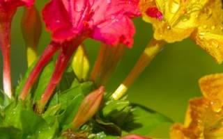 Удивительный или мирабилис ялапа