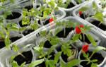 Пикировка рассады томатов: что это такое, как правильно пикировать помидоры + видео